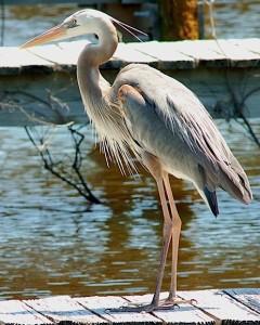 Heron-Everglades-20070401