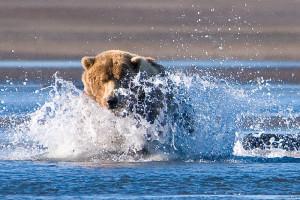 800px-Brown_Bear,_Hallo_Bay,_Katmai_National_Park_1