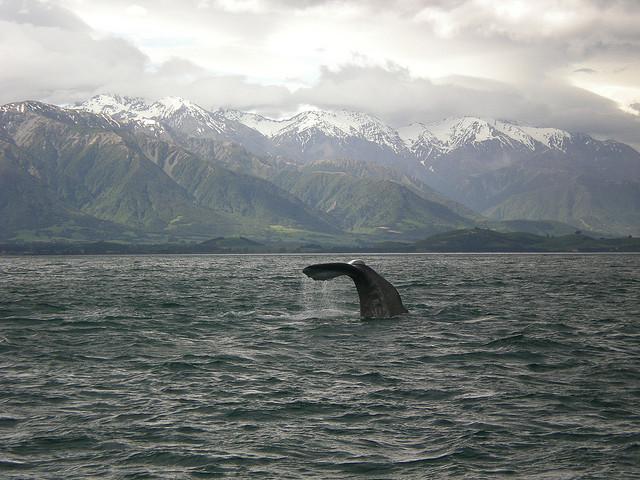 kaikoura-whales
